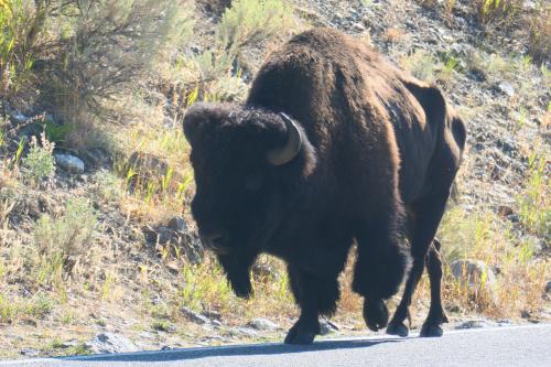 Bison elder