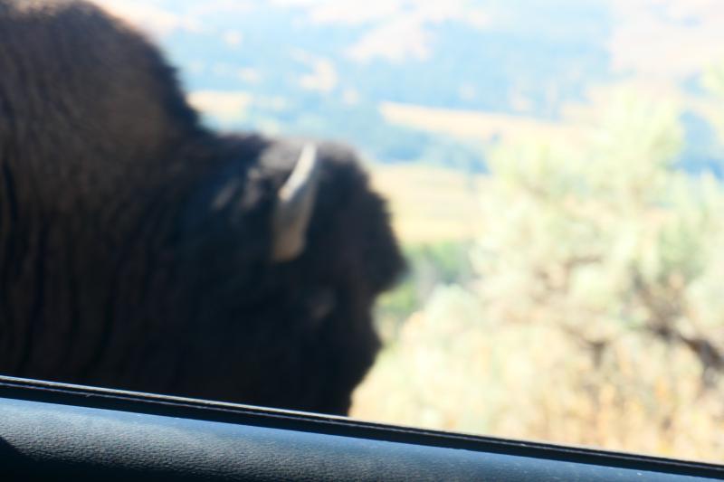 Bison dream