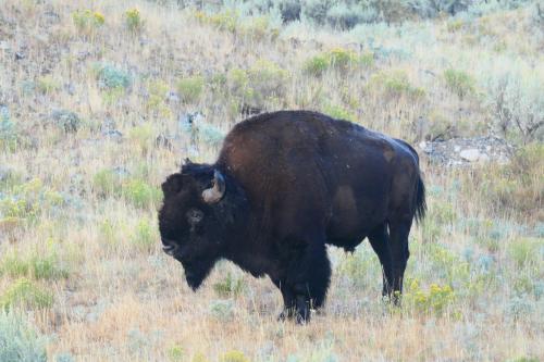 Bison scattering