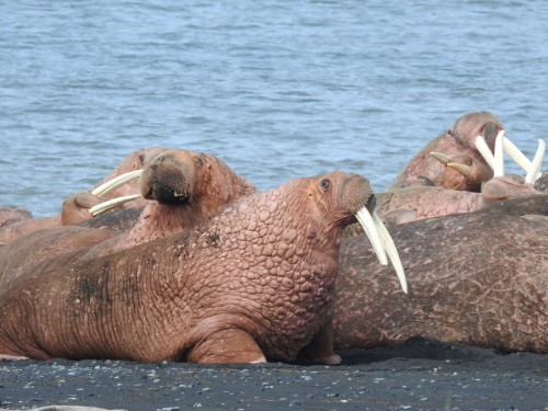 Walrus excellence
